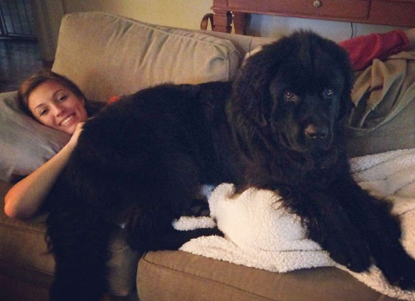 http://static.boredpanda.com/blog/wp-content/uploads/2015/01/huge-dogs-feel-small-18__605.jpg