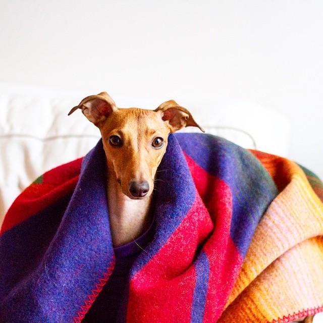 iggy-joey-stylish-dog-8