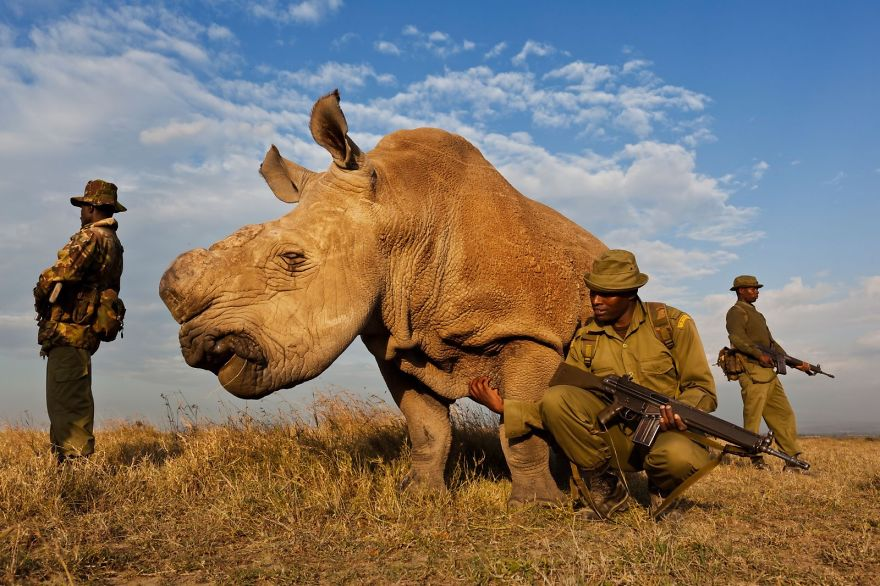 One Of The Last Four White Rhino's In The World (kenya)