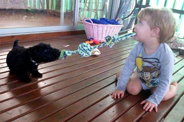 Two Puppies Play Tug-O-War
