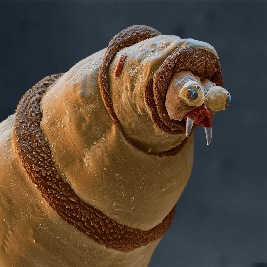 Larva Of A Bluebottle Fly