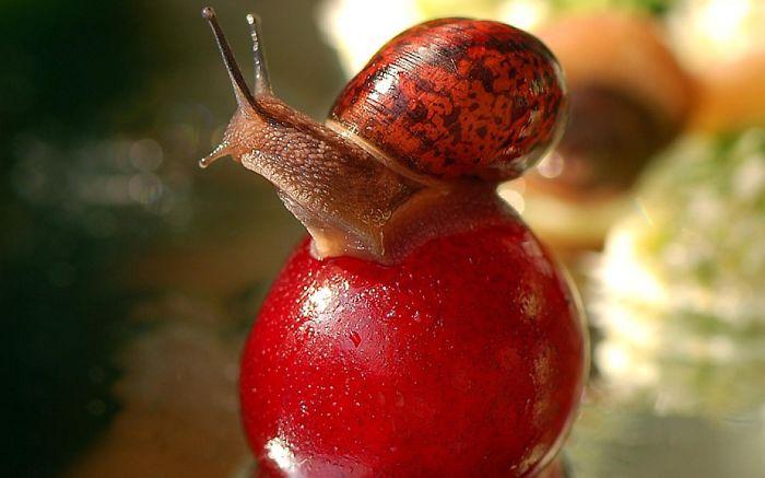 Snail Loves Cherry