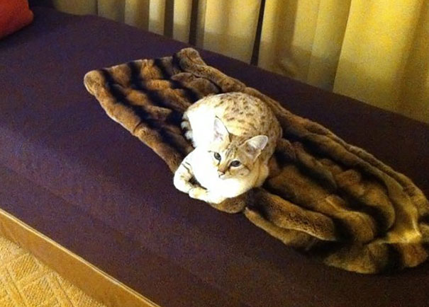 He Only Sleeps On The Fur Rug