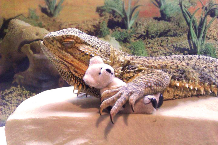 Meet Pringle The Cute Bearded Dragon That Never Gets