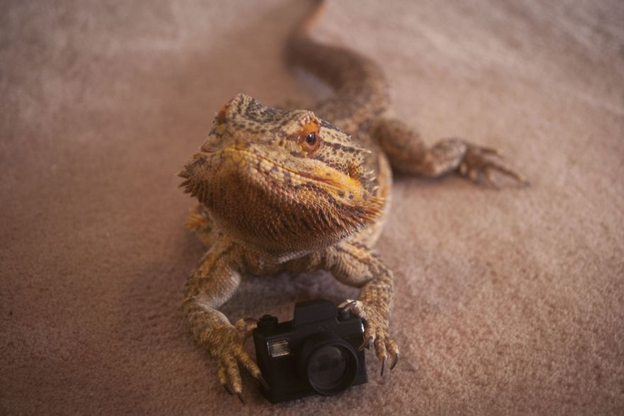 Meet Pringle: The Cute Bearded Dragon That Never Gets ...