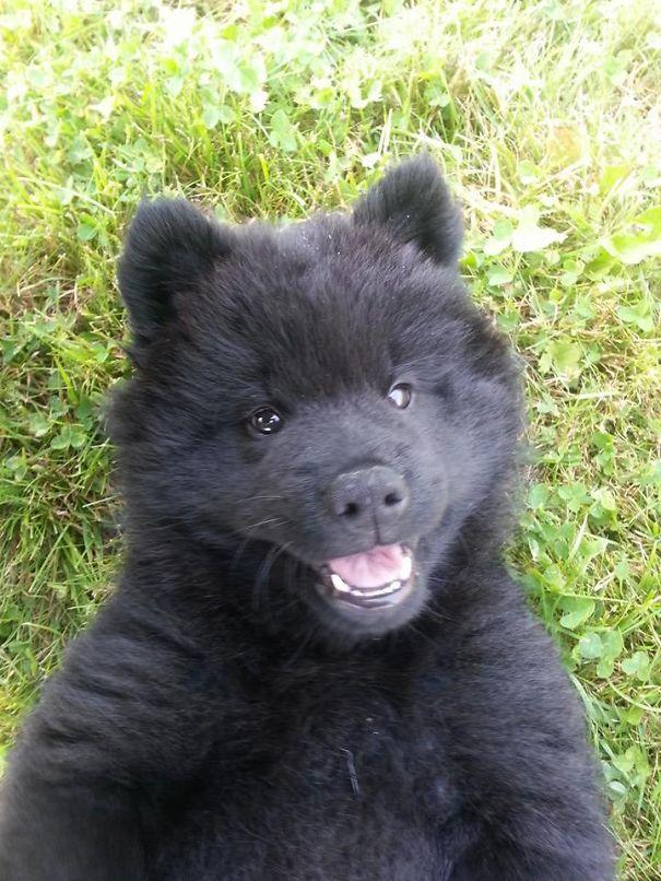 10 Week Old Eurasier Puppy That Looks Like A Teddybear