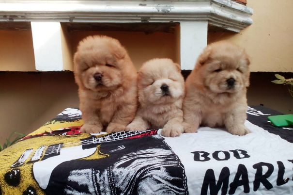 What's Better Than 1 Chow-chow? 3 Chow-chow Puppies!!!