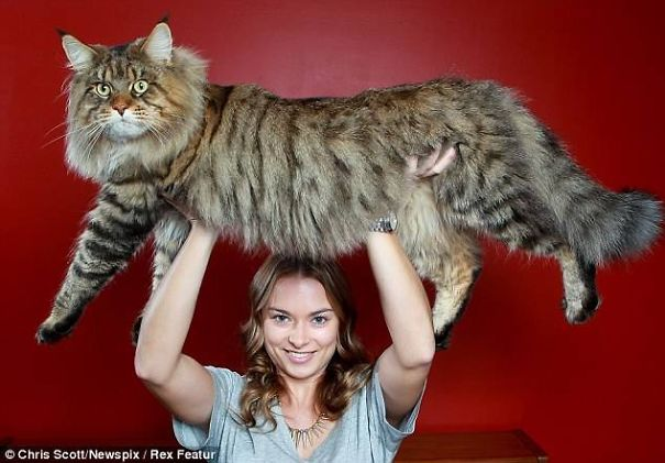 7a853846c4b4 Αυτές είναι οι μεγαλύτερες γάτες του κόσμου!
