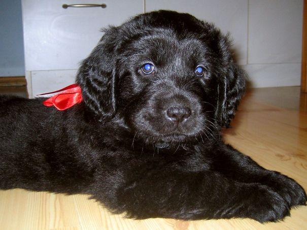 Black Golden Retriever Puppy