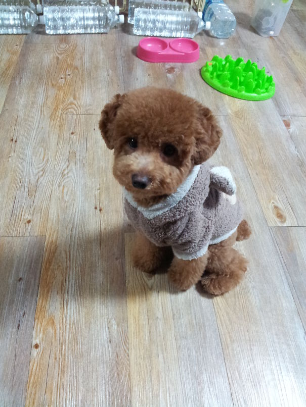 Poodle In A Teddy Bear Outfit