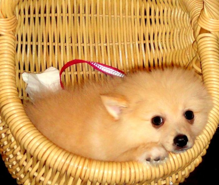 Alban, The German Spitz (3 Month Old)