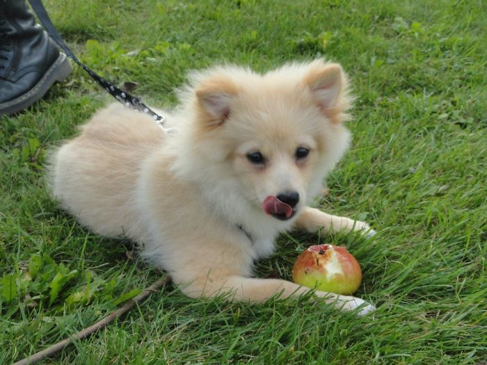 Alban, The German Spitz (9 Month Old, And Eating An Apple?!)