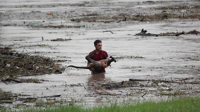 Man Risks Own Life To Save A Wallaby Drowning In Flood Waters.