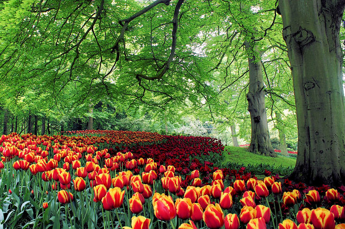 Flower Highway Of Red And Yellow-red Striped Tulips