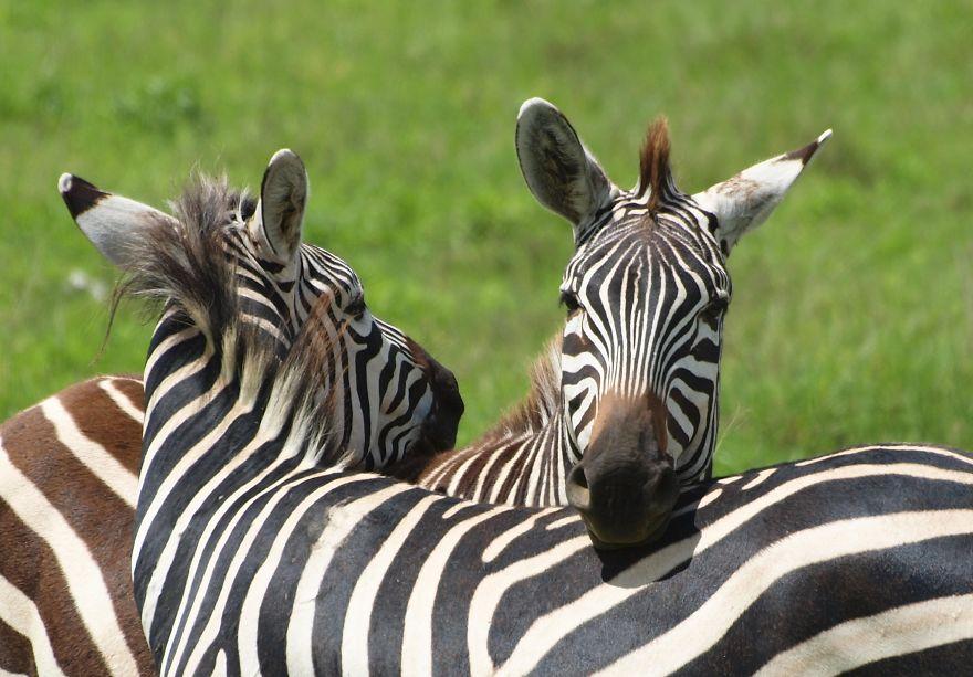 ♡ Tenderness ♡ Ngorongoro