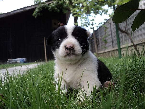 Common Puppy