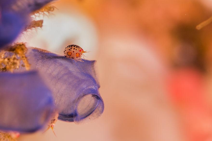 Ladybug Shrimp..