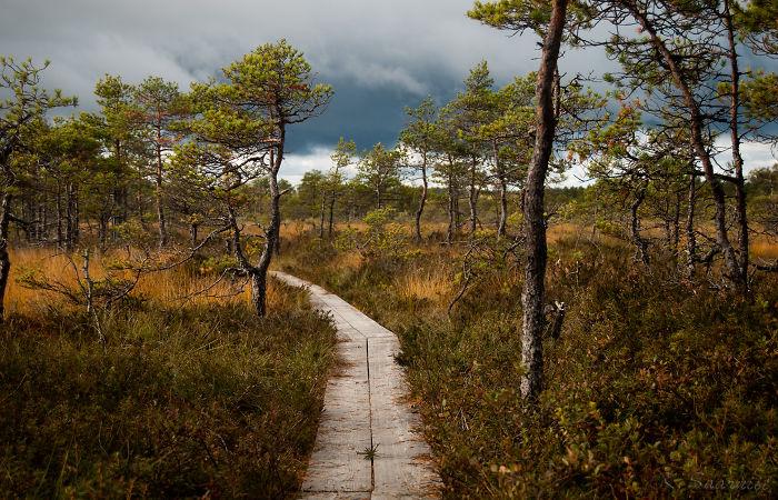 Estonian Bog Forest