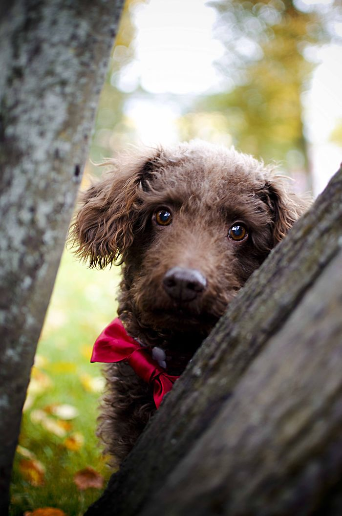 Our Hal-breed Poodle, Saved From Animal Shelter – Chocolate!