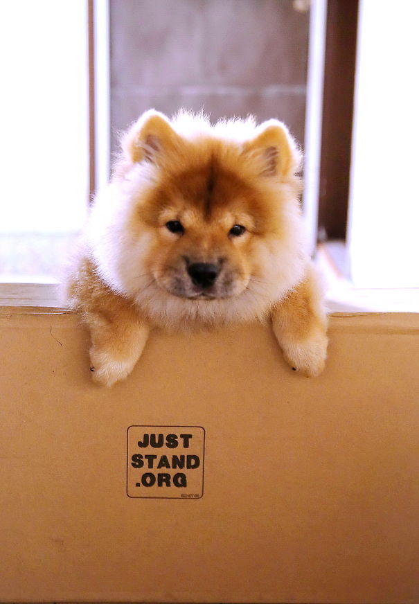 Vodka - Chow Chow Pup.