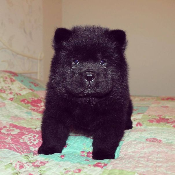 Chow Chow Puppy, 45 Days Old
