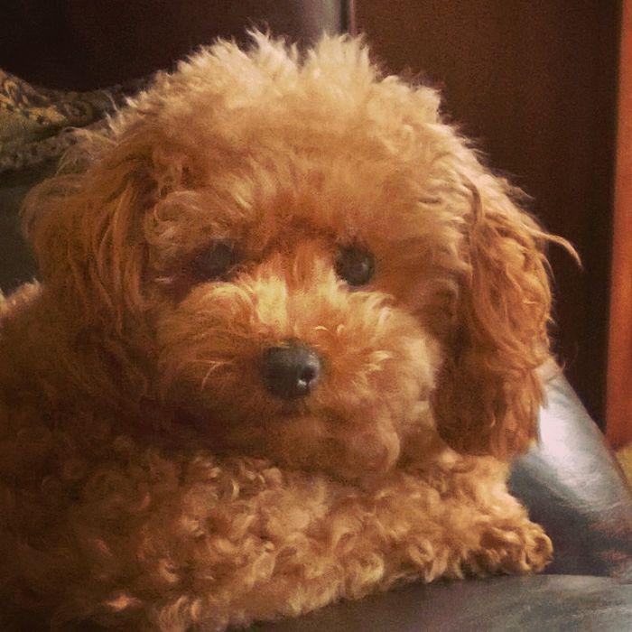 Toy Poodle – Ginger