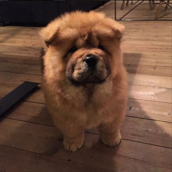 Chow Chow Puppy - Destroyer Of Worlds.