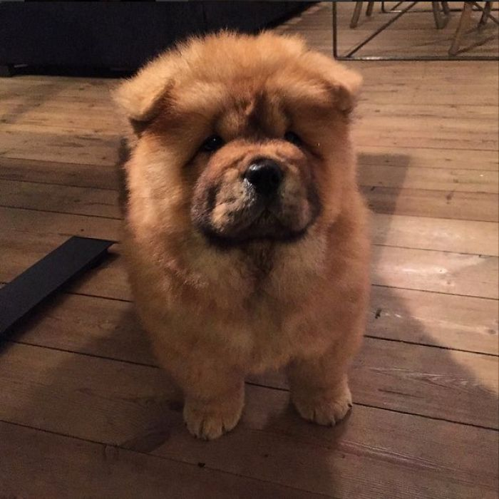 Chow Chow Puppy – Destroyer Of Worlds.