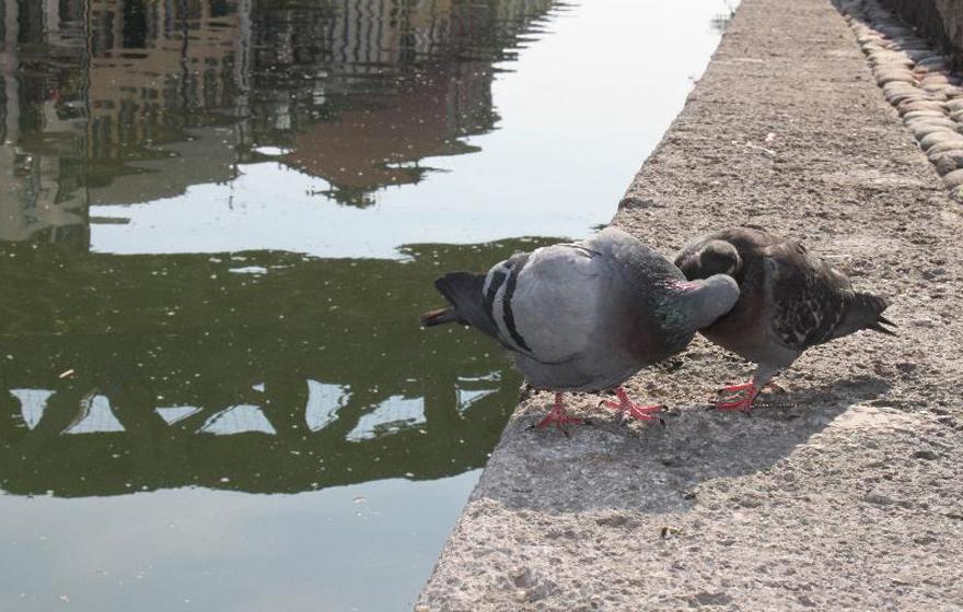 Pigeon Love - Navigli Canal - Milan