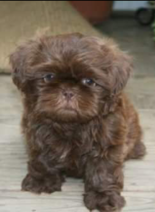 The Best Food For Shih Tzu Puppies