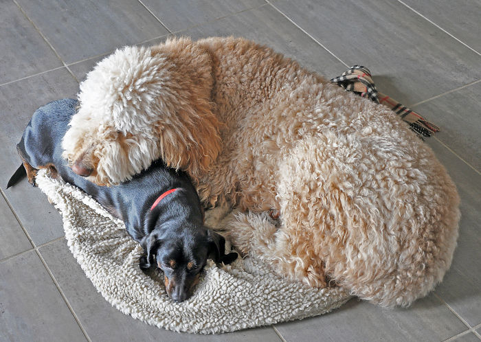 Teddy, My Two Year-old Goldendoodle And His Dachshund Pal, Pumpkin.