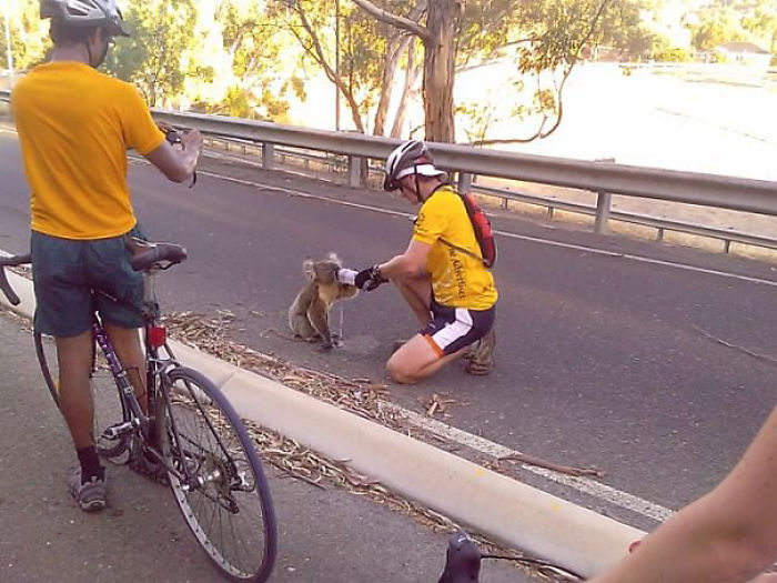 Cyclist Stops To Give A Dehydrated And Hot Koala A Much Needed Drink.
