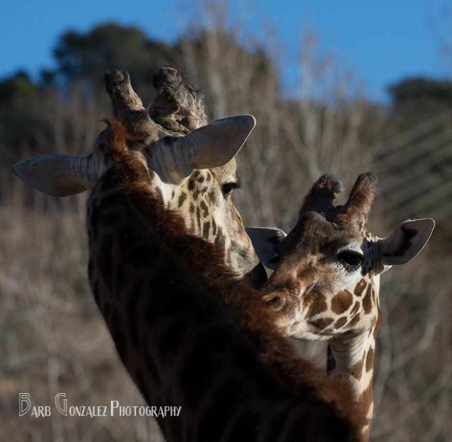 Gingerly Loving Giraffes