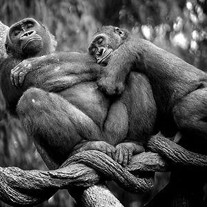 Lowland Gorillas