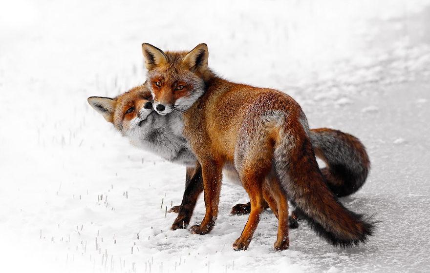 Foxy Love: A Happy Valentine