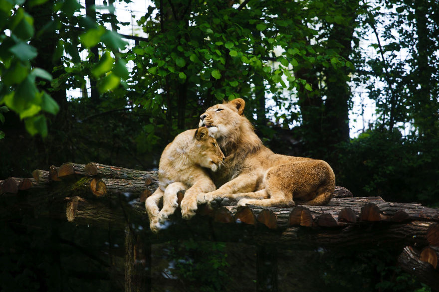Lovely Lions