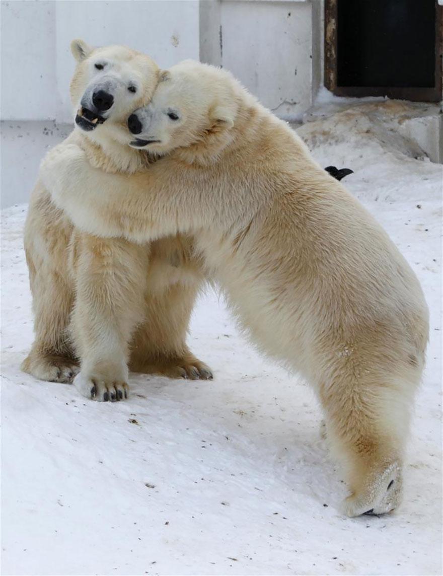 Hugging Polar Bears
