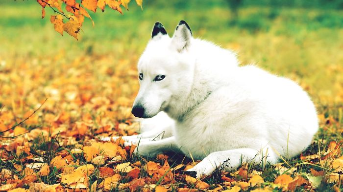 White Dog In Autumn
