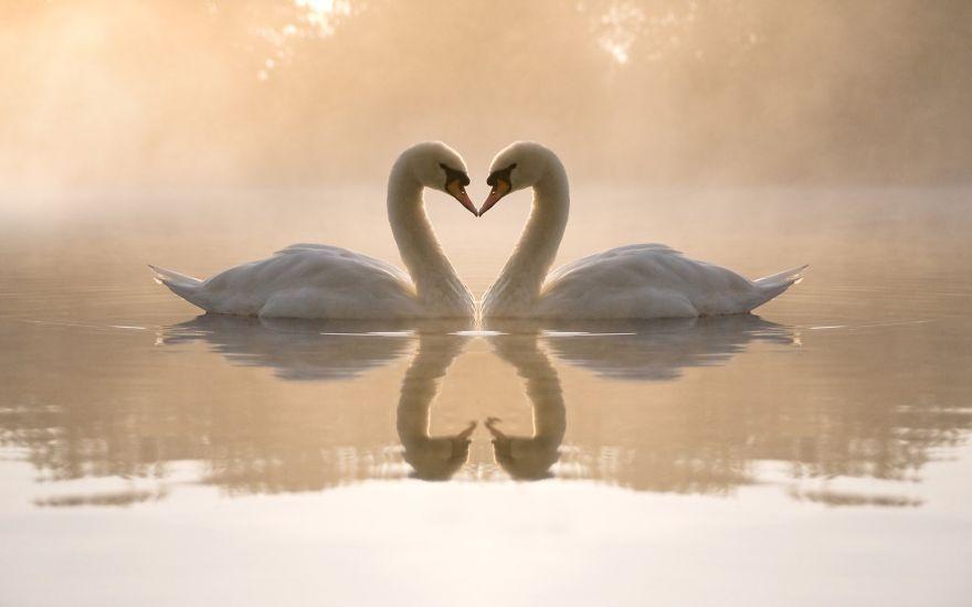 Beautiful Swan Love
