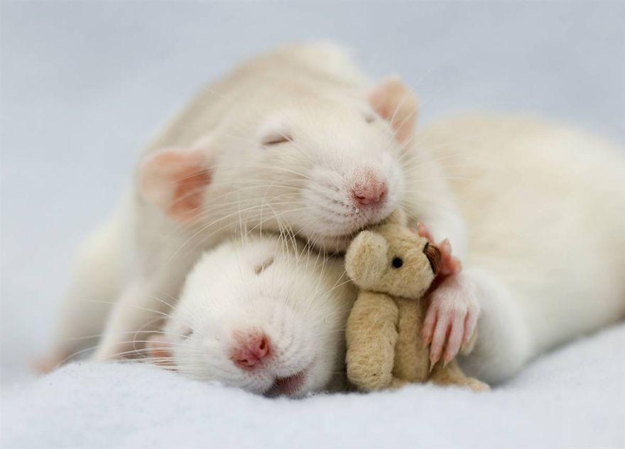 Rat Couple Sleeping