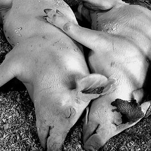 Sleeping Pig Couple
