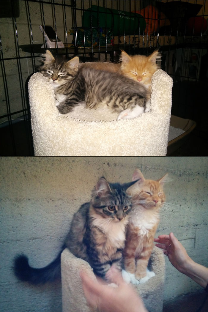 Bertie And Percy Maine Coon Kittens At 9 Weeks And 4 Months Old In The Same Bed.