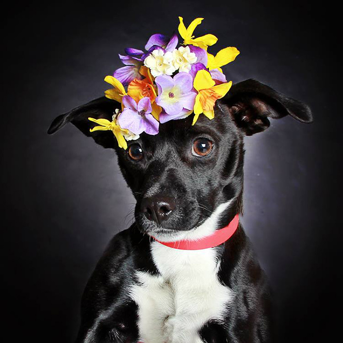 black-dog-portraits-floral-crown-guinnevere-shuster-6