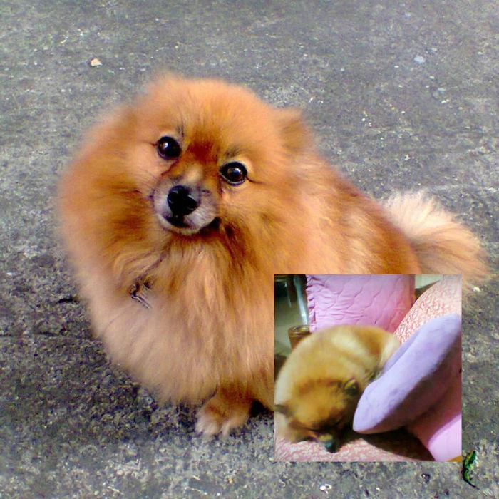 Felize The Fluffy, Foxy Pomeranian (owned By Pinkikay)
