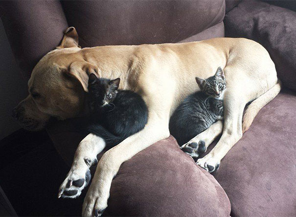 Cats Using Dog As A Pillow