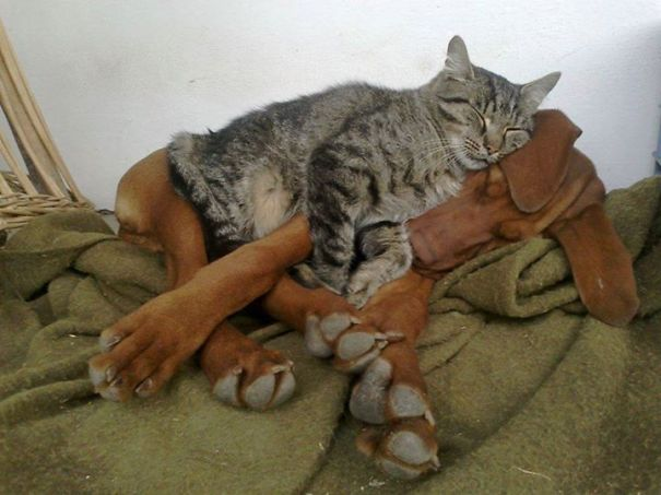Cat Using Dog As A Pillow