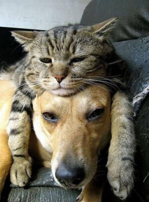 21 Cats Who Use Dogs As Pillows Bored Panda