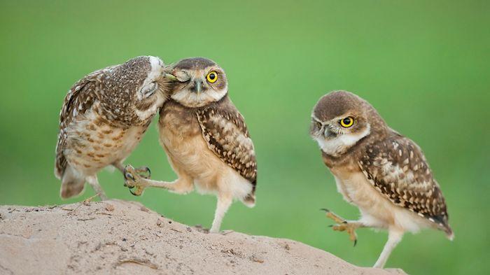 Cute Owl Trio