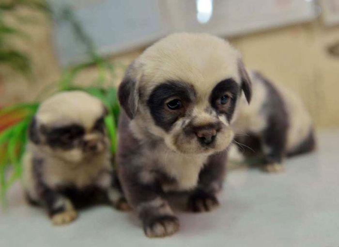 Puppies That Look Like Panda Bears :d