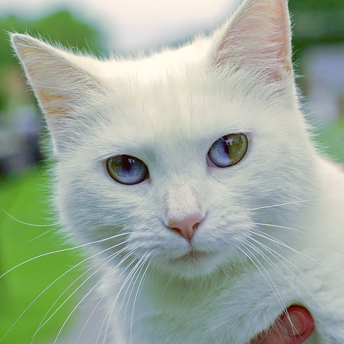 bowens disease in cats
